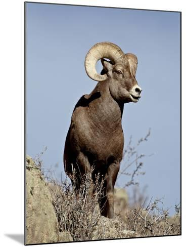 Bighorn Sheep (Ovis Canadensis) Ram During the Rut, Arapaho National Forest, Colorado, USA-James Hager-Mounted Photographic Print