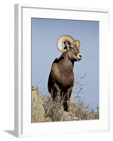 Bighorn Sheep (Ovis Canadensis) Ram During the Rut, Arapaho National Forest, Colorado, USA-James Hager-Framed Art Print