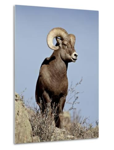 Bighorn Sheep (Ovis Canadensis) Ram During the Rut, Arapaho National Forest, Colorado, USA-James Hager-Metal Print