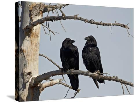 Common Raven (Corvus Corax) Pair, Yellowstone National Park, Wyoming, USA, North America-James Hager-Stretched Canvas Print