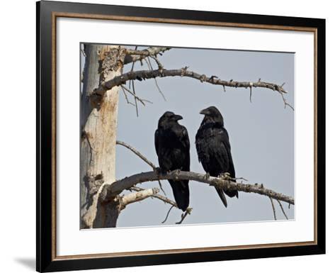 Common Raven (Corvus Corax) Pair, Yellowstone National Park, Wyoming, USA, North America-James Hager-Framed Art Print