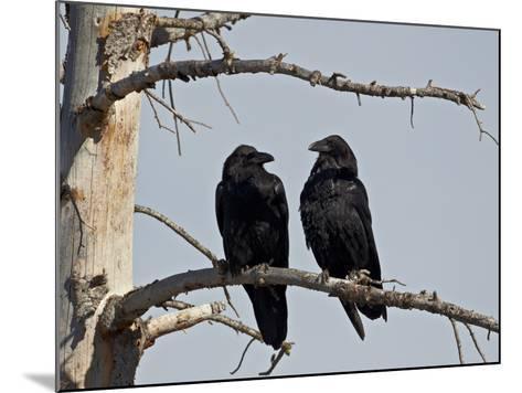 Common Raven (Corvus Corax) Pair, Yellowstone National Park, Wyoming, USA, North America-James Hager-Mounted Photographic Print