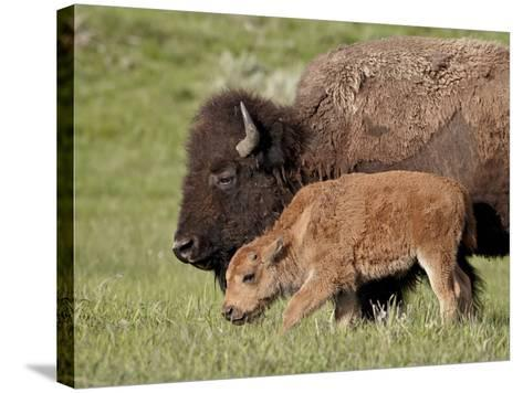 Bison (Bison Bison) Cow and Calf, Yellowstone National Park, Wyoming, USA, North America-James Hager-Stretched Canvas Print