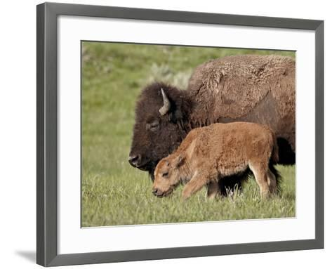 Bison (Bison Bison) Cow and Calf, Yellowstone National Park, Wyoming, USA, North America-James Hager-Framed Art Print