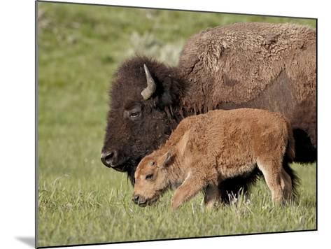 Bison (Bison Bison) Cow and Calf, Yellowstone National Park, Wyoming, USA, North America-James Hager-Mounted Photographic Print