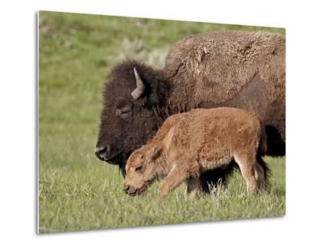 Bison (Bison Bison) Cow and Calf, Yellowstone National Park, Wyoming, USA, North America-James Hager-Metal Print