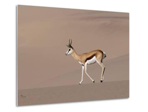 Springbok (Antidorcas Marsupialis) on Sand Dune, Skeleton Coast National Park, Namibia, Africa-Sergio Pitamitz-Metal Print