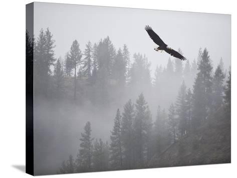 Bald Eagle (Haliaeetus Leucocephalus) Flying over the Trees, Coeur D'Alene Lake, Idaho, USA-Antonio Busiello-Stretched Canvas Print