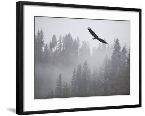 Bald Eagle (Haliaeetus Leucocephalus) Flying over the Trees, Coeur D'Alene Lake, Idaho, USA-Antonio Busiello-Framed Art Print
