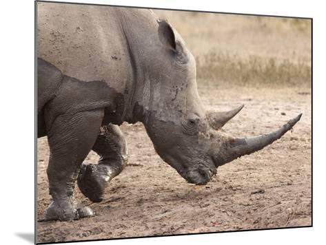 White Rhino (Ceratotherium Simum), Imfolozi Game Reserve, Kwazulu-Natal, South Africa, Africa-Ann & Steve Toon-Mounted Photographic Print
