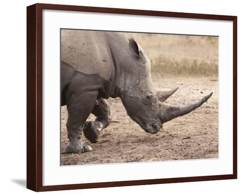 White Rhino (Ceratotherium Simum), Imfolozi Game Reserve, Kwazulu-Natal, South Africa, Africa-Ann & Steve Toon-Framed Art Print