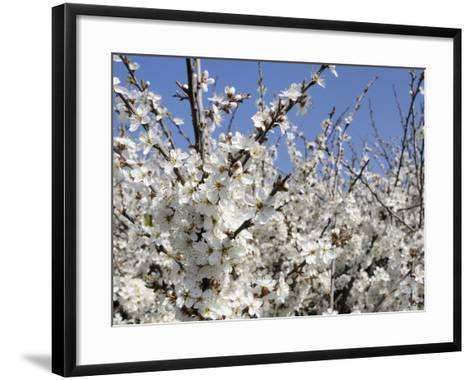 Blackthorn (Prunus Spinosa) in Full Flower, Cornwall, England, United Kingdom, Europe-Nick Upton-Framed Art Print