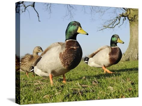 Two Mallard Drakes (Anas Platyrhynchos) and a Duck Approaching on Grass, Wiltshire, England, UK-Nick Upton-Stretched Canvas Print