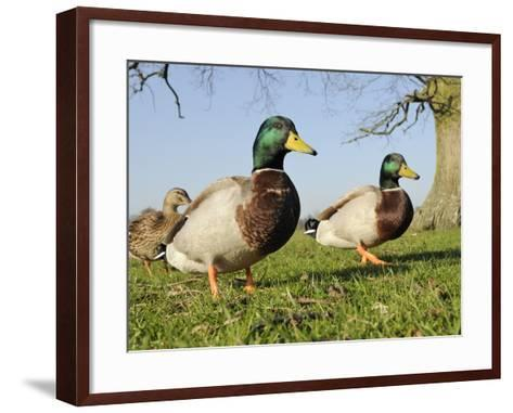Two Mallard Drakes (Anas Platyrhynchos) and a Duck Approaching on Grass, Wiltshire, England, UK-Nick Upton-Framed Art Print