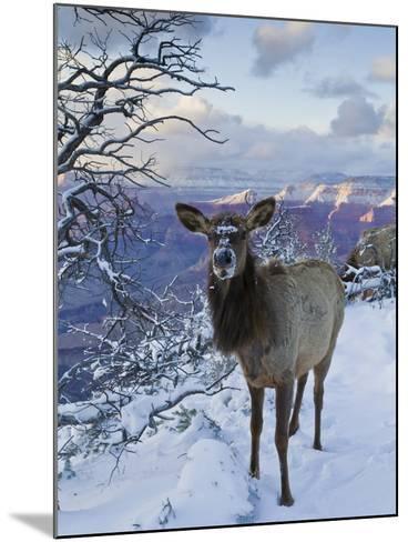 Elk (Cervus Canadensis) (Wapiti), Grand Canyon Nat'l Park, UNESCO World Heritage Site, Arizona, USA-Michael Nolan-Mounted Photographic Print