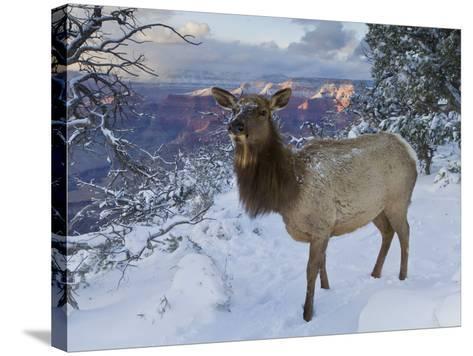 Elk (Cervus Canadensis) (Wapiti), Grand Canyon Nat'l Park, UNESCO World Heritage Site, Arizona, USA-Michael Nolan-Stretched Canvas Print