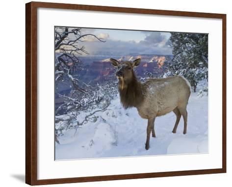 Elk (Cervus Canadensis) (Wapiti), Grand Canyon Nat'l Park, UNESCO World Heritage Site, Arizona, USA-Michael Nolan-Framed Art Print