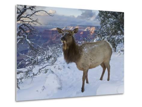 Elk (Cervus Canadensis) (Wapiti), Grand Canyon Nat'l Park, UNESCO World Heritage Site, Arizona, USA-Michael Nolan-Metal Print