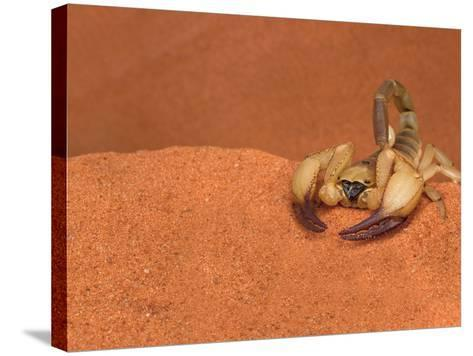 Opistophthalmus Wahlbergii Scorpion, Tswalu Kalahari Game Reserve, Northern Cape, South Africa-Ann & Steve Toon-Stretched Canvas Print