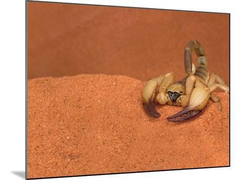 Opistophthalmus Wahlbergii Scorpion, Tswalu Kalahari Game Reserve, Northern Cape, South Africa-Ann & Steve Toon-Mounted Photographic Print