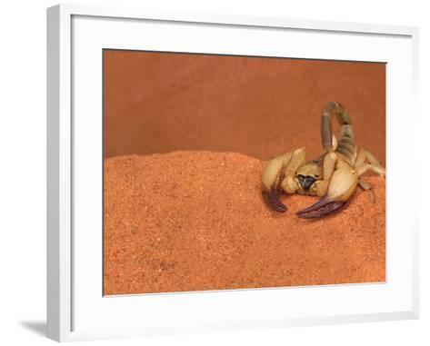 Opistophthalmus Wahlbergii Scorpion, Tswalu Kalahari Game Reserve, Northern Cape, South Africa-Ann & Steve Toon-Framed Art Print
