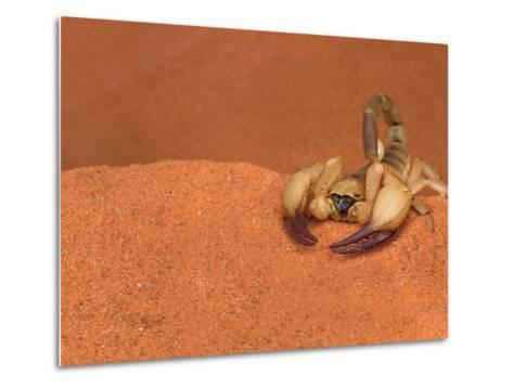 Opistophthalmus Wahlbergii Scorpion, Tswalu Kalahari Game Reserve, Northern Cape, South Africa-Ann & Steve Toon-Metal Print