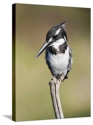 Pied Kingfisher (Ceryle Rudis), Intaka Island, Cape Town, South Africa, Africa-Ann & Steve Toon-Stretched Canvas Print
