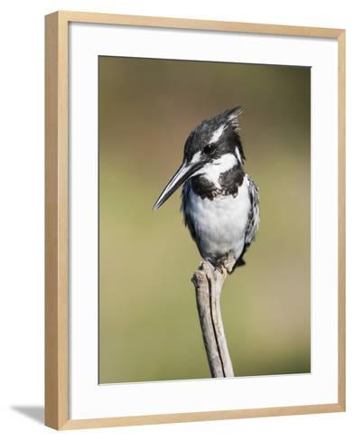 Pied Kingfisher (Ceryle Rudis), Intaka Island, Cape Town, South Africa, Africa-Ann & Steve Toon-Framed Art Print