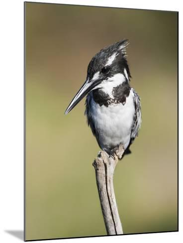 Pied Kingfisher (Ceryle Rudis), Intaka Island, Cape Town, South Africa, Africa-Ann & Steve Toon-Mounted Photographic Print