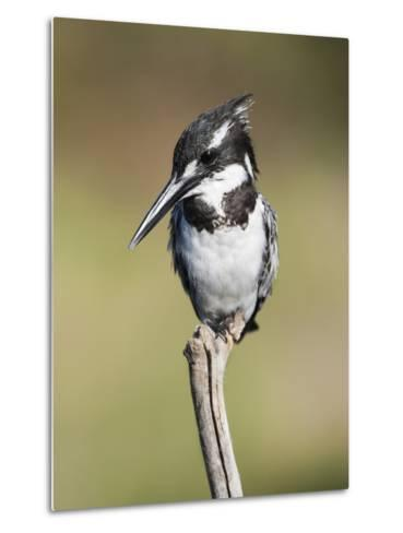 Pied Kingfisher (Ceryle Rudis), Intaka Island, Cape Town, South Africa, Africa-Ann & Steve Toon-Metal Print