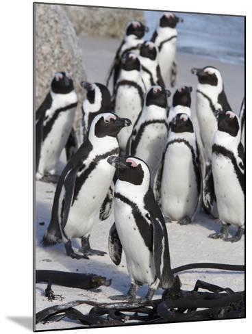 African Penguins (Spheniscus Demersus), Table Mountain National Park, Cape Town, South Africa-Ann & Steve Toon-Mounted Photographic Print