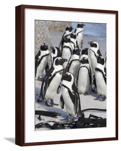 African Penguins (Spheniscus Demersus), Table Mountain National Park, Cape Town, South Africa-Ann & Steve Toon-Framed Art Print