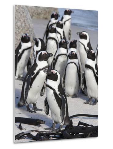 African Penguins (Spheniscus Demersus), Table Mountain National Park, Cape Town, South Africa-Ann & Steve Toon-Metal Print