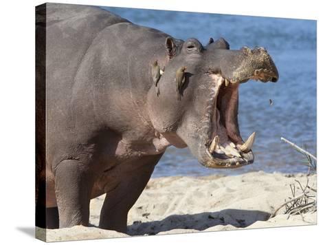 Hippopotamus (Hippopotamus Amphibius), Kruger National Park, Mpumalanga, South Africa, Africa-Ann & Steve Toon-Stretched Canvas Print