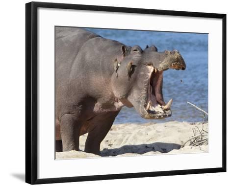 Hippopotamus (Hippopotamus Amphibius), Kruger National Park, Mpumalanga, South Africa, Africa-Ann & Steve Toon-Framed Art Print