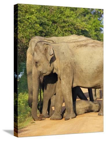 Wild Female Asian Elephants with Baby Elephant, Yala National Park, Sri Lanka, Asia-Peter Barritt-Stretched Canvas Print