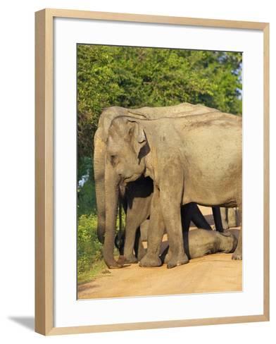 Wild Female Asian Elephants with Baby Elephant, Yala National Park, Sri Lanka, Asia-Peter Barritt-Framed Art Print