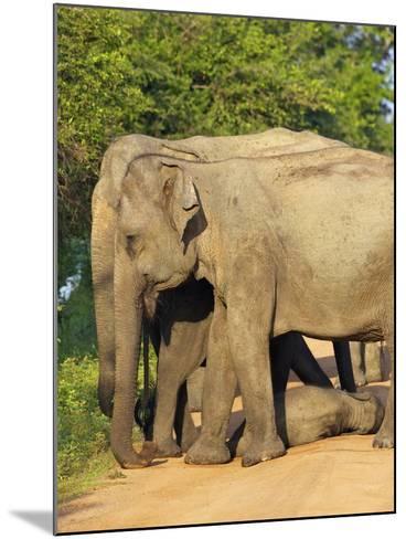 Wild Female Asian Elephants with Baby Elephant, Yala National Park, Sri Lanka, Asia-Peter Barritt-Mounted Photographic Print