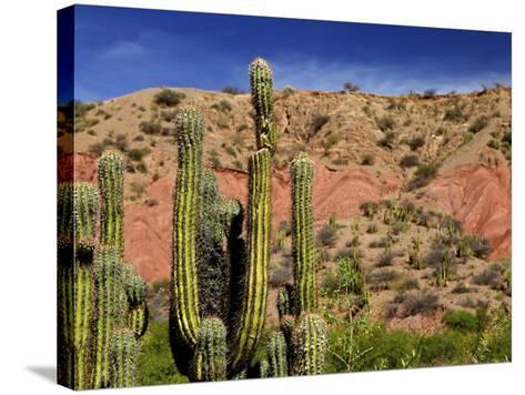 Cacti in Canon del Inca, Tupiza Chichas Range, Andes, Southwestern Bolivia, South America-Simon Montgomery-Stretched Canvas Print