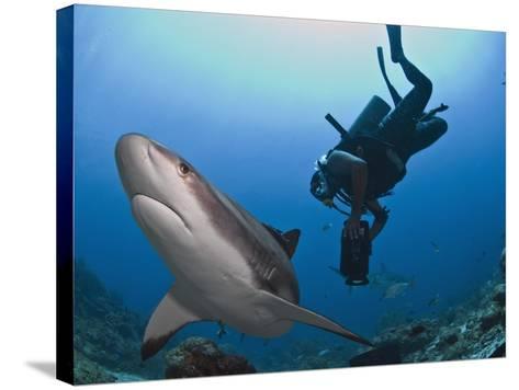 Diver Swimming with Caribbean Reef Shark (Carcharhinus Perezii), Roatan, Bay Islands, Honduras-Antonio Busiello-Stretched Canvas Print