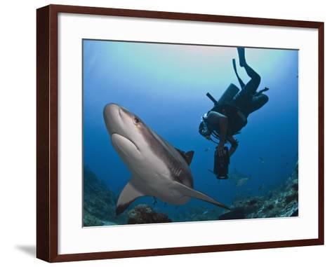 Diver Swimming with Caribbean Reef Shark (Carcharhinus Perezii), Roatan, Bay Islands, Honduras-Antonio Busiello-Framed Art Print