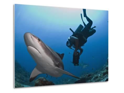 Diver Swimming with Caribbean Reef Shark (Carcharhinus Perezii), Roatan, Bay Islands, Honduras-Antonio Busiello-Metal Print