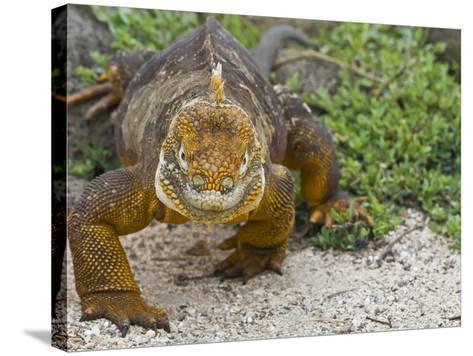 Galapagos Land Iguana (Conolophus Subcristatus), Galapagos Is, UNESCO World Heritge Site, Ecuador-Michael Nolan-Stretched Canvas Print