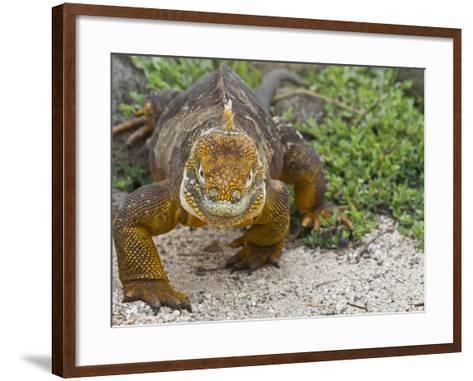 Galapagos Land Iguana (Conolophus Subcristatus), Galapagos Is, UNESCO World Heritge Site, Ecuador-Michael Nolan-Framed Art Print