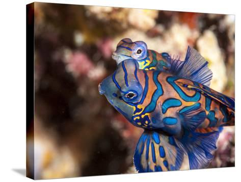 Mandarinfish (Synchiropus Splendidus) Mating, Sulawesi, Indonesia, Southeast Asia, Asia-Lisa Collins-Stretched Canvas Print