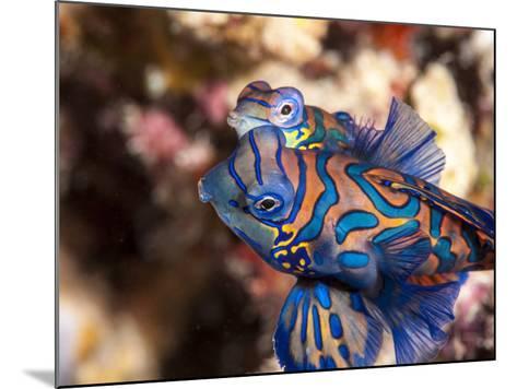 Mandarinfish (Synchiropus Splendidus) Mating, Sulawesi, Indonesia, Southeast Asia, Asia-Lisa Collins-Mounted Photographic Print