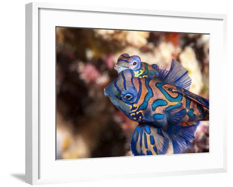 Mandarinfish (Synchiropus Splendidus) Mating, Sulawesi, Indonesia, Southeast Asia, Asia-Lisa Collins-Framed Art Print