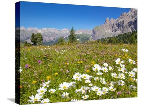 Daisies, Sella Pass, Trento and Bolzano Provinces, Italian Dolomites, Italy, Europe-Frank Fell-Stretched Canvas Print