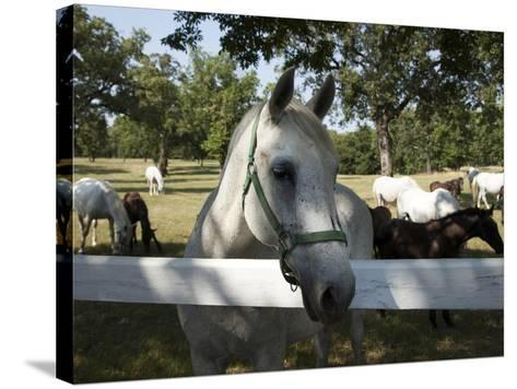 Lipizaner Horses in the World Famous Lipizaner Horses Farm, Lipica, Slovenia, Europe-Angelo Cavalli-Stretched Canvas Print