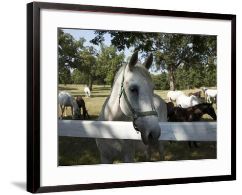 Lipizaner Horses in the World Famous Lipizaner Horses Farm, Lipica, Slovenia, Europe-Angelo Cavalli-Framed Art Print